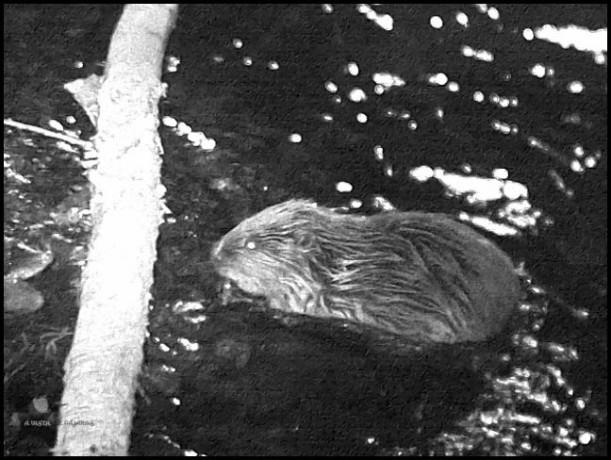 Castor en el agua, cerca de un tronco que el mismo a derribado (23-1-2016)
