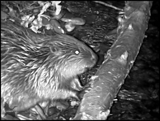 Castor comiendo madera con el visor y zoom a tope (24-1-2016)