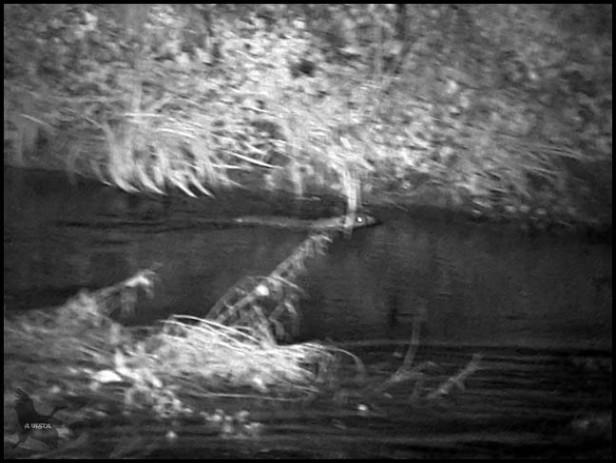 Castor nadando cerca de la orilla (23-1-2016)
