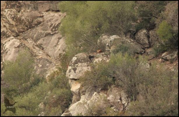 Zorro en lo alto de un roquedo (8-12-2015)