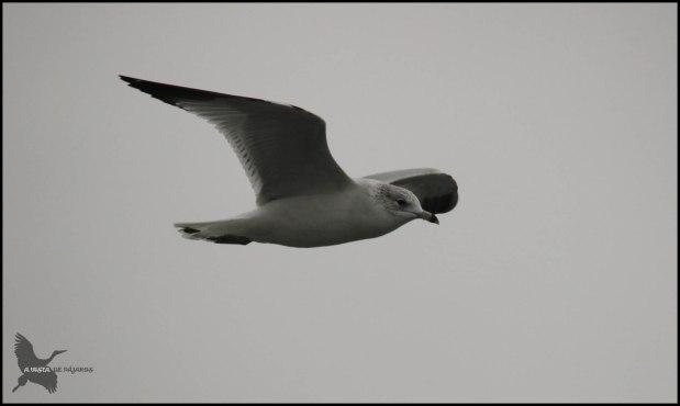 Gaviota Delaware volando (31-1-2016)