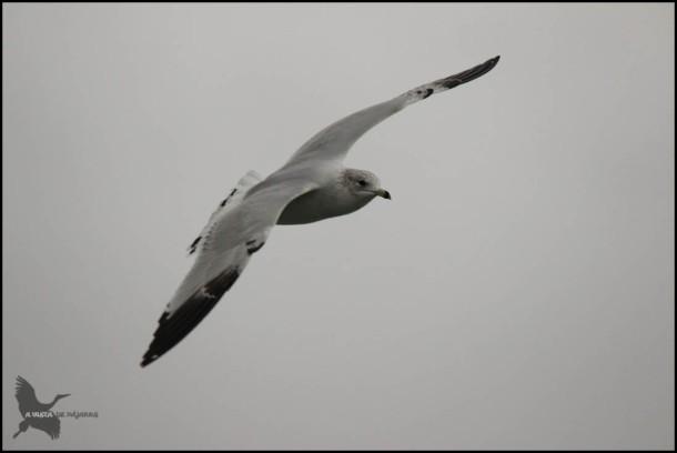 La misma gaviota en pleno vuelo (31-1-2016)