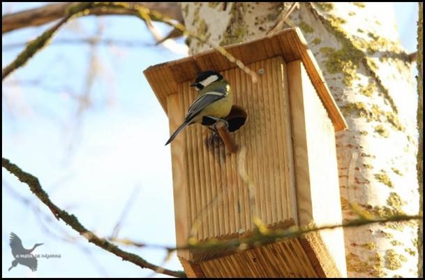Carbonero en caja nido (19-2-2016)