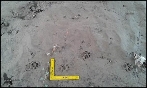 Huellas de nutria junto a las de otros roedores (19-2-2016)