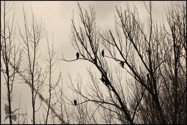 Cormoranes en el grupo (19-2-2016)