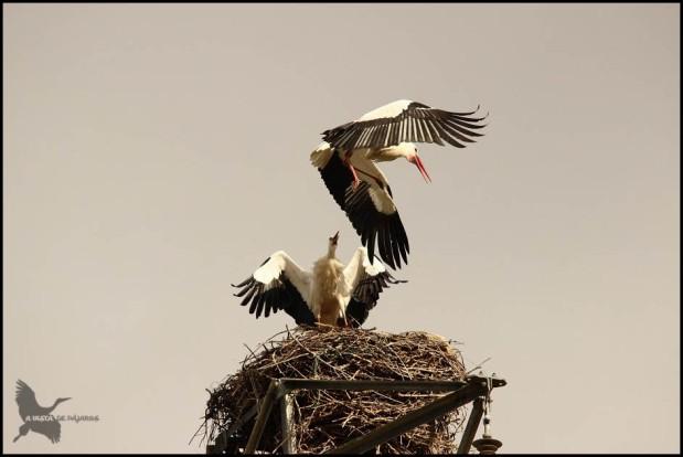 Cigüeñas en el nido (19-2-2016)