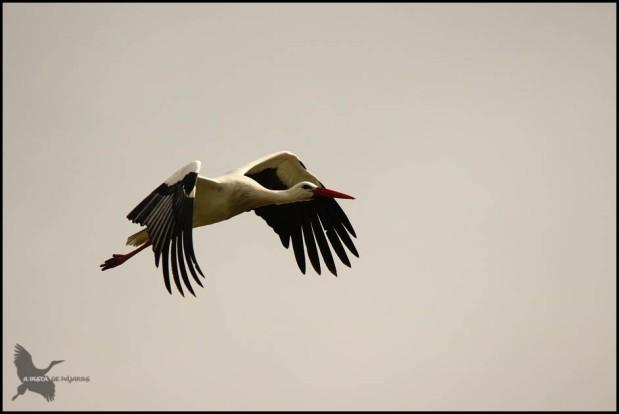 Cigüeña en vuelo (19-2-2016)