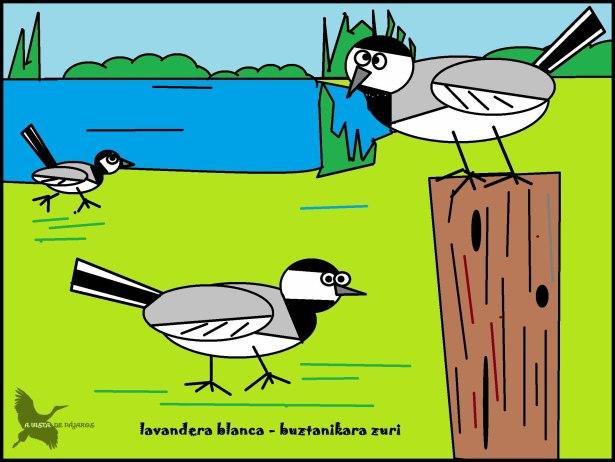 Lavandera blanca - Buztanikara zuri