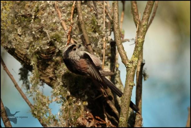 Mito picoteando el nido viejo (16-4-2016)