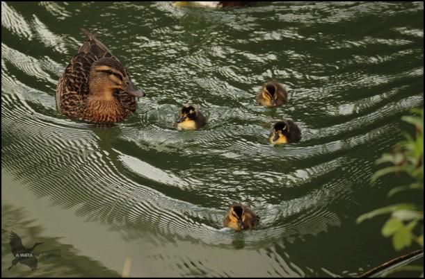 Familia de 4 polluelos (16-10-2016)