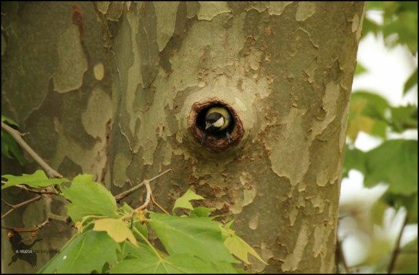Carbonero entrando y saliendo de su nido (11-5-2016)