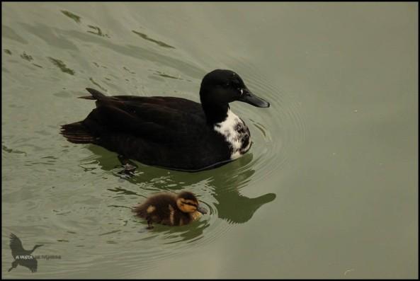 La madre nadando junto a uno de ellos... (26-5-2016)