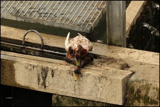 El pato encima del muerto... (26-5-2016)