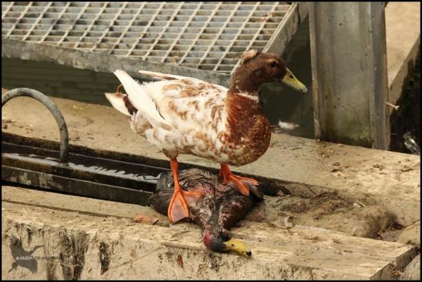 Como si de un halcón se tratase, sobre su presa... (26-5-2016)