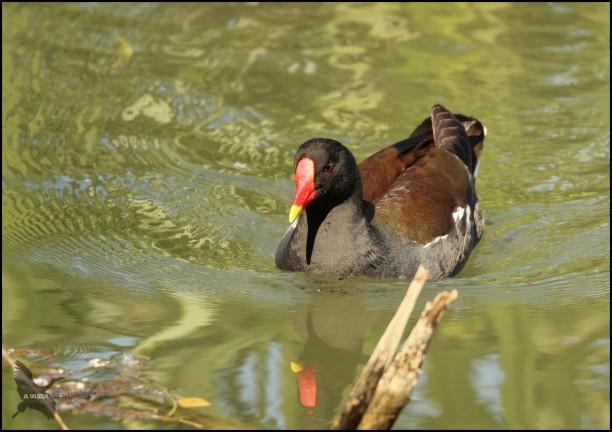 Gallineta nadando (5-6-2016)