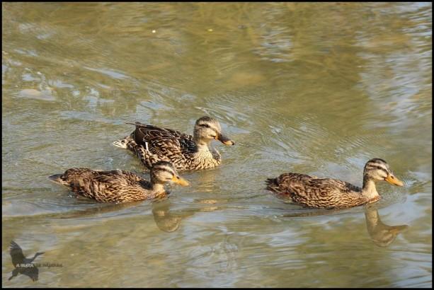 Par de patos del año con su madre, ya bien mayorcitos... (5-6-2016)