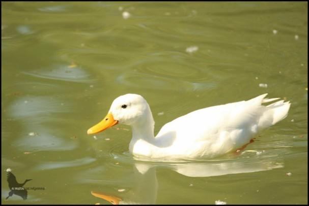 Pato totalmente blanco 562016