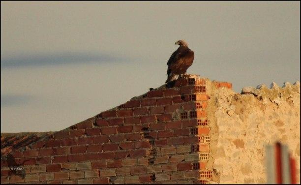 Águila real en lo alto de una chabola vieja (23-4-2016)
