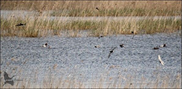 Buena variedad de aves sobre la lámina de agua de Pitillas (23-4-2106).