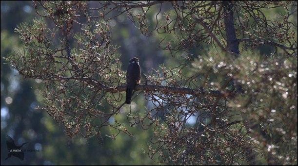 Posado en la rama de un pino (3-7-2016)