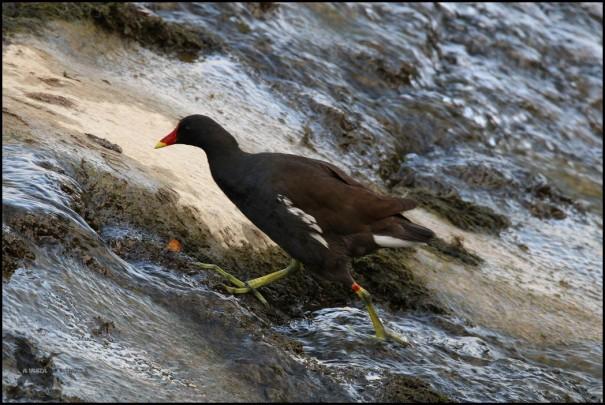 Adulto de gallineta en la presa de Santa Engracia (14-7-2016)