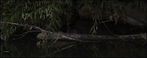 Rata, o parda o gris sobre un tronco (14-7-2016)