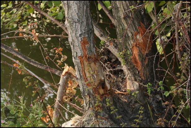 Árboles roidos por castor (31-7-2016)