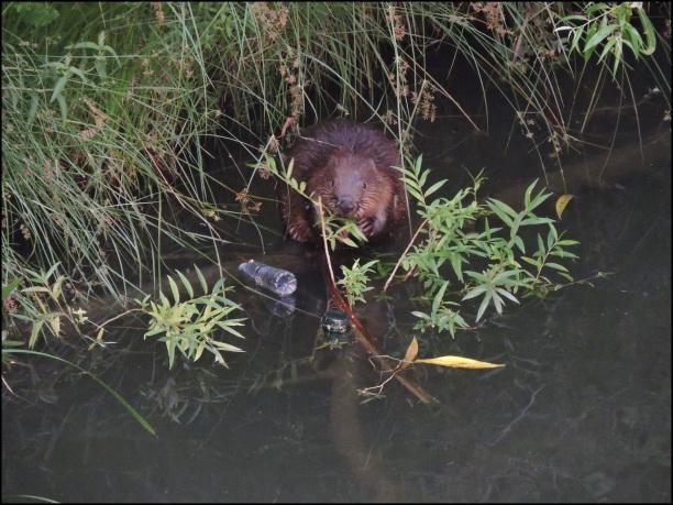 Castor en el río Arga (7-7-2016)