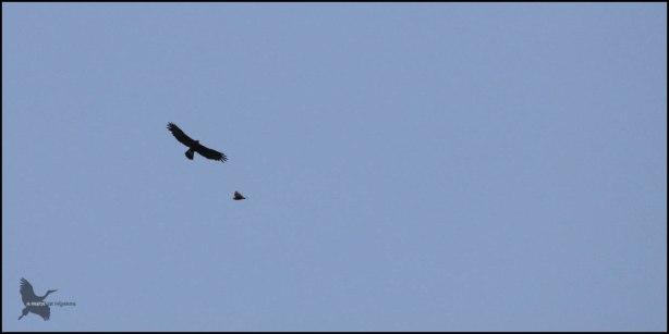 Águila real volando cerca de un ratonero (4-9-2016)