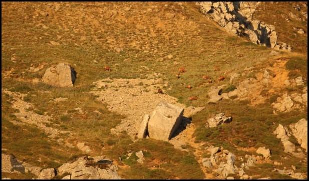 Grupo de rebecos en una de las laderas del lugar (5-9-2016)
