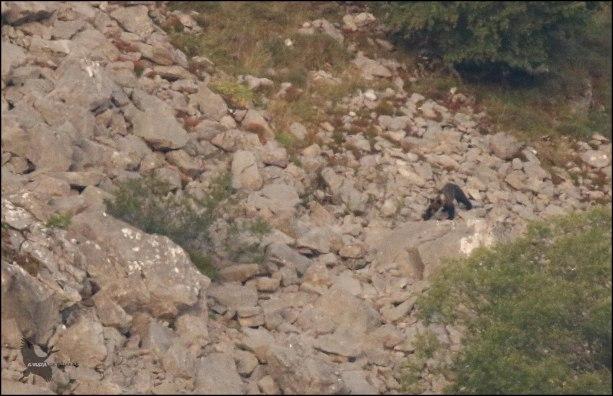El precioso oso cruzando el canchal de piedras (2-9-2016)