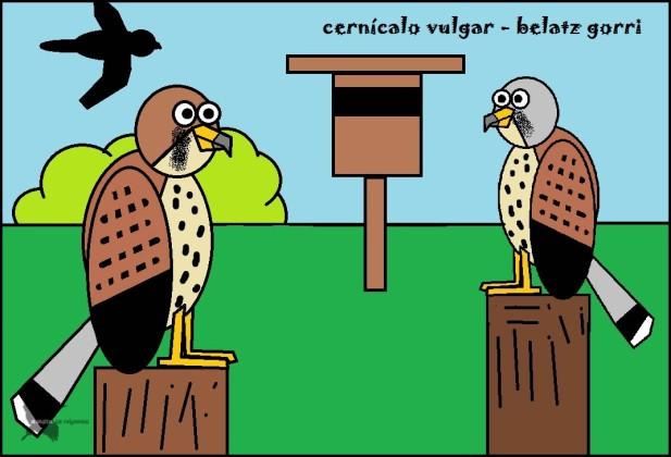 Cernícalo vulgar - Belatz gorri