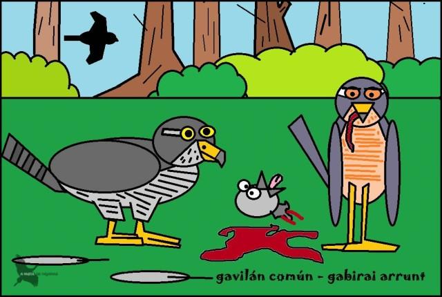 Gavilán común - Gavirai arrunt