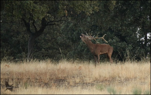 Macho berreando cercano a la espesura de matorral (1-10-2016)