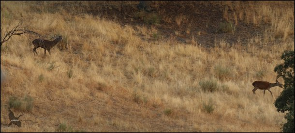 Macho siguiendo a una hembra mientras berrea (1-10-2016)