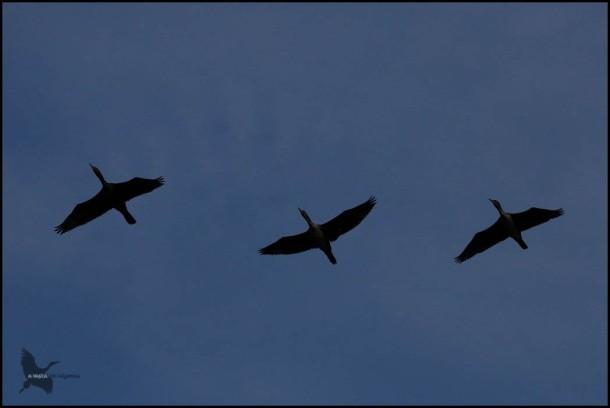 Cormoranes en vuelo a ún de noche (24-10-2016)