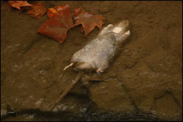 Rata muerta en medio del río (8-10-2016)