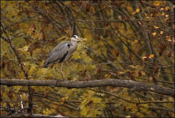 Garza en una rama (26-11-2016)