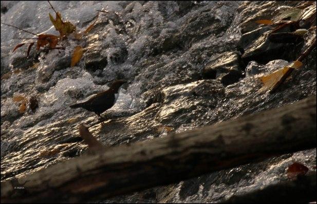 Mirlo acuático en la presa de Santa Engracia (30-11-2016)
