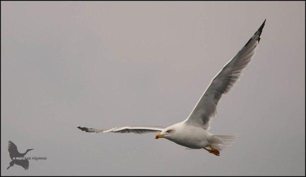 Gaviota patiamarilla en vuelo (9-10-2016)