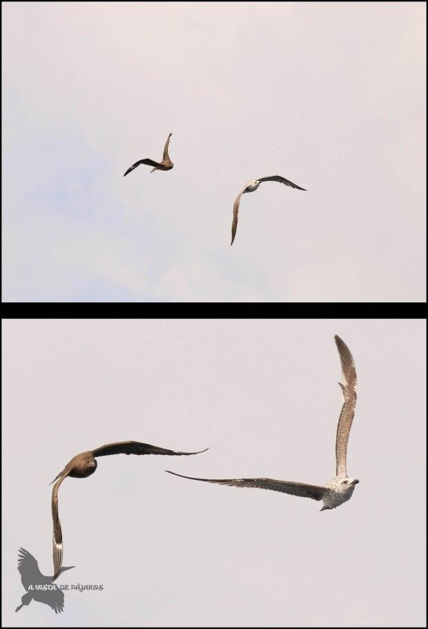 Págalo acosando a una gaviota (9-10-2016)