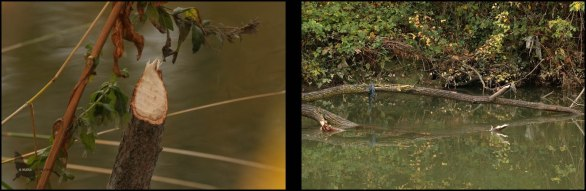 Diferentes rastros de castor en la Rotxapea (26-11-2016)