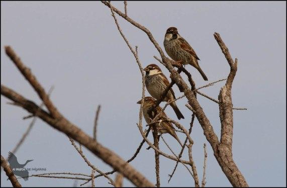 Gorriones morunos (1-11-2016)