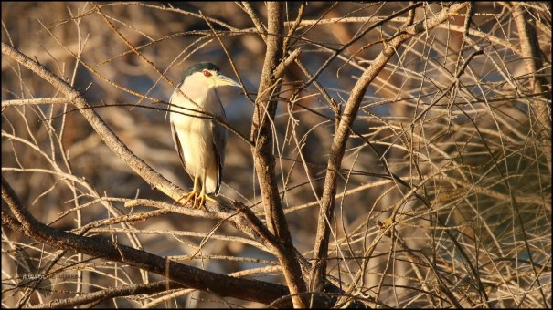 Martinete adulto entre ramas (29-10-2016)