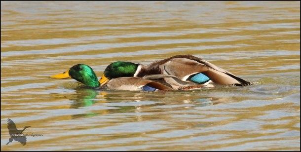 Azulones macho aosándose uno a otro... (29-10-2016)