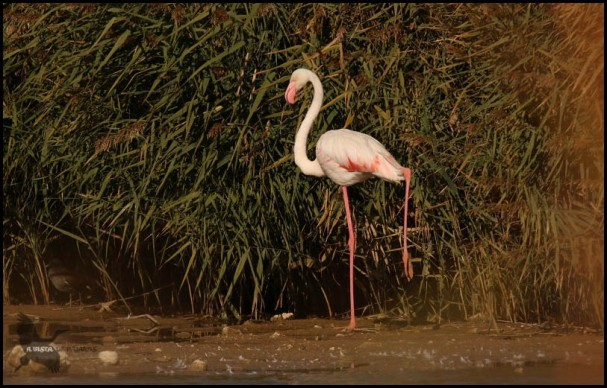 Flamenco, una de las aves comunes de Daimiel (30-10-2016)