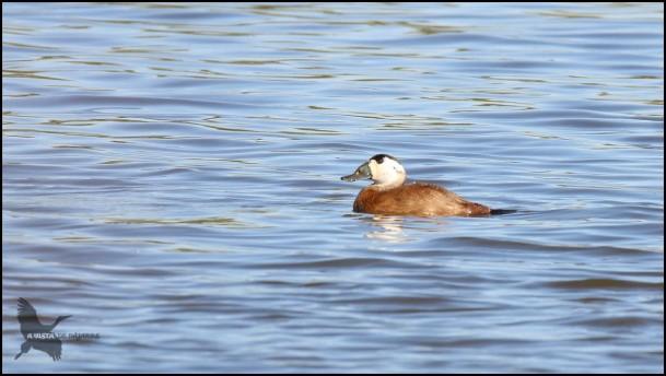 Malvasia nadando (30-10-2016)
