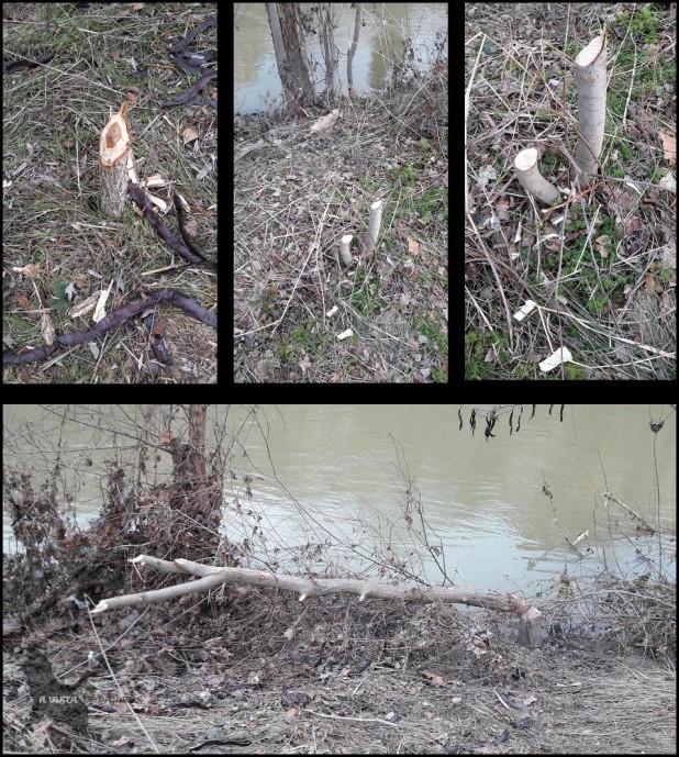 Rastros de castor (18-1-2017)