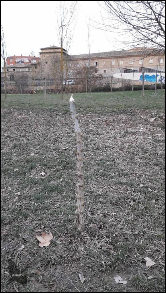 Arbolillo comido a mucha altura... (18-1-2017)
