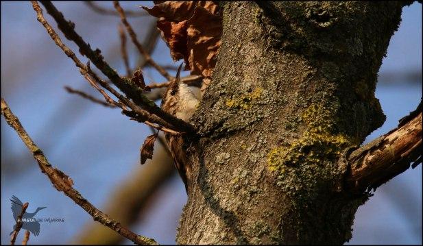 Agateador en un tronco (19-2-2017)